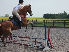 All Rounder horse - 6 yrs 9 mths 16.0 hh Chestnut - Cambridgeshire