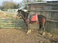 13hh approx reg nf fillly