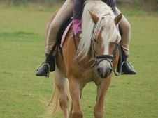14.2hh Beautiful Haflinger mare for loan/full loan - Bedfordshire