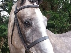 All Rounder horse - 5 yrs 16.1 hh Steel Grey - East Sussex