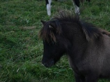 Miniatures horse - 1 yr 2 mths 34.0 hh Blue Dun - West Sussex