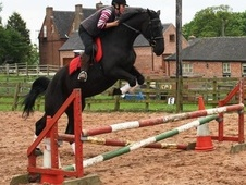 Show Jumpers horse - 15 yrs 1 mth 16.2 hh Dark Bay - Nottinghamshire