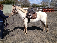 Pony Club Ponies horse - 5 yrs 4 mths 12.2 hh Strawberry Roan - W...