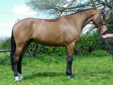 Sports Horses horse - 5 yrs 16.2 hh  - Sussex