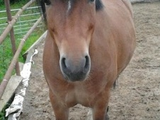 Show Jumpers horse - 5 yrs 11 mths 12.1 hh Bay - West Yorkshire