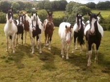 All Rounder horse - 6 yrs 15.0 hh Coloured - Cornwall