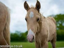 Pure Bred Palomino Lusitano Weanling Colt