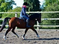 5yo Welsh Section B Mare