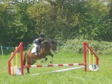 All Rounder horse - 5 yrs 11 mths 13.0 hh Bay - Essex