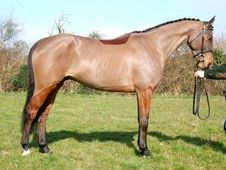 Sports Horses horse - 6 yrs 16.0 hh Bay - Sussex
