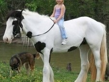 Gypsy Vanner Horses Available