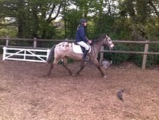Pony Club Ponies horse - 5 yrs 13.2 hh Appaloosa - East Sussex