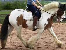 All Rounder horse - 5 yrs 14.0 hh Coloured - Nottinghamshire