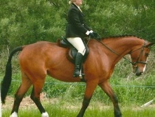 Showing horse - 15 yrs 17.0 hh Bay - West Midlands