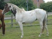 Coloured horse - 3 yrs 15.1 hh Tri-Coloured - Leicestershire