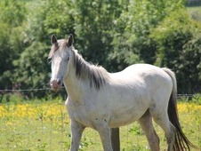 All Rounder Horse - 1 Yr 15. 2 Hh Appaloosa - Cornwall
