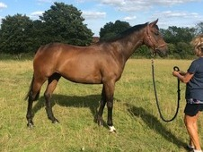 Very Handsome 16. 1 8yrs Bay Tb Gelding