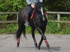 All Rounder horse - 6 yrs 2 mths 16.1 hh Black - Avon