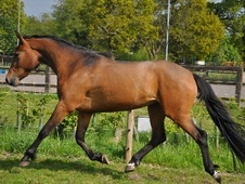 Performance Horses horse - 3 yrs 16.1 hh Bay - Cheshire