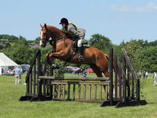 Chestnut Gelding 16. 1hh 9 Years Old
