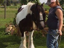 Gypsy Vanner Horses For Adoption