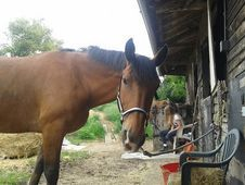 15'2, Bay Gelding For Sale