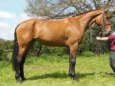 Sports Horses horse - 6 yrs 16.3 hh Bay - Sussex