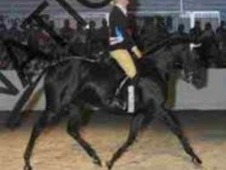Showing horse - 7 yrs 15.2 hh Black - Cleveland
