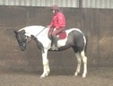 All Rounder horse - 4 yrs 6 mths 16.1 hh Piebald - County Durham