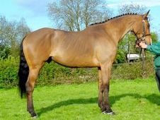 Dressage horse - 6 yrs 16.3 hh Bay - Sussex