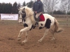All Rounder horse - 8 yrs 16.1 hh Skewbald - Lincolnshire