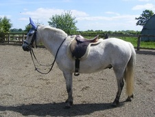 All Rounder horse - 11 yrs 12.2 hh Dapple Grey - West Midlands