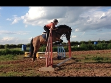 14. 2hh Bay Roan Gelding For Sale