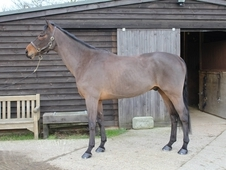 Quality Allrounder Could 'Ben' be your horse of a lifetime?