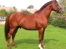 Sports Horses horse - 16 yrs 17.2 hh Chestnut - Nottinghamshire