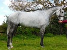 Sports Horses horse - 9 yrs 16.3 hh Dapple Grey - Sussex