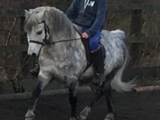 Stunning registered welsh section a dapple grey gelding