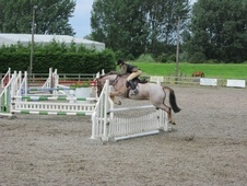 Pony Club Ponies horse - 7 yrs 7 mths 14.0 hh Strawberry Roan - C...