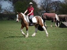 All Rounder horse - 5 yrs 15.2 hh Skewbald - North Yorkshire