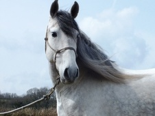Spanish / Iberian horse - 8 yrs 2 mths 15.2 hh Grey - Devon