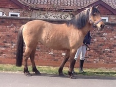 All Rounder horse - 8 yrs 6 mths 14.2 hh Palomino - South Humberside