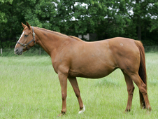 Broodmare In Foal To Quatensprung
