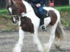 Riding Club Horses/Ponies horse - 5 yrs 1 mth 15.1 hh Coloured - ...