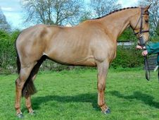 Sports Horses horse - 7 yrs 16.0 hh Chestnut - Sussex