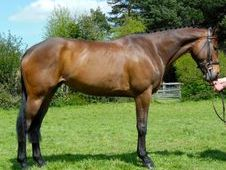 Sports Horses horse - 7 yrs 16.1 hh Bay - Sussex