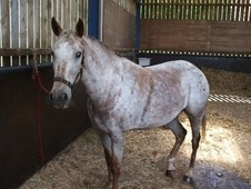 Appaloosa horse - 4 yrs 10 mths 15.2 hh Appaloosa - North Yorkshire