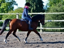 Registered Welsh Section B Mare