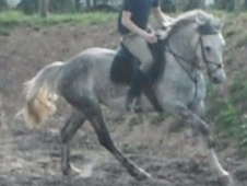 All Rounder horse - 6 yrs 2 mths 15.0 hh Dapple Grey - East Sussex