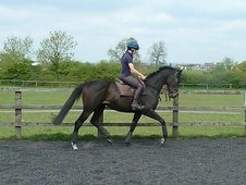 Potential young sports horses horse - 3 yrs 16.0 hh Dark Bay - Gl...