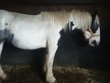 15hh 3yr Old Untouched Mare
